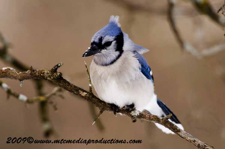Blue Jay Picture-54