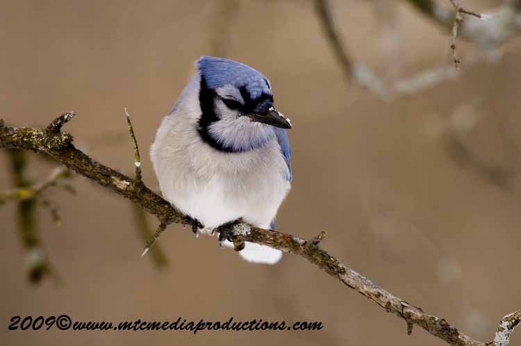 Blue Jay Picture-55