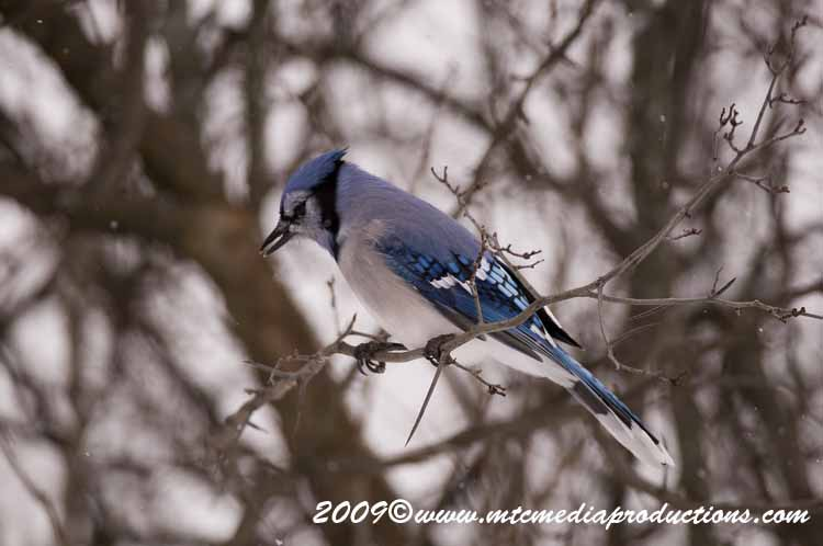 Blue Jay Picture-56