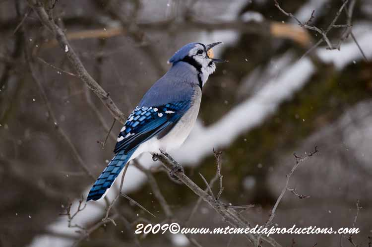 Blue Jay Picture-57