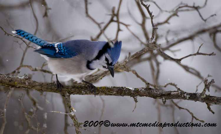 Blue Jay Picture-58