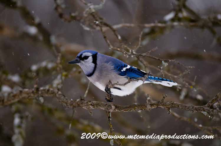 Blue Jay Picture-60