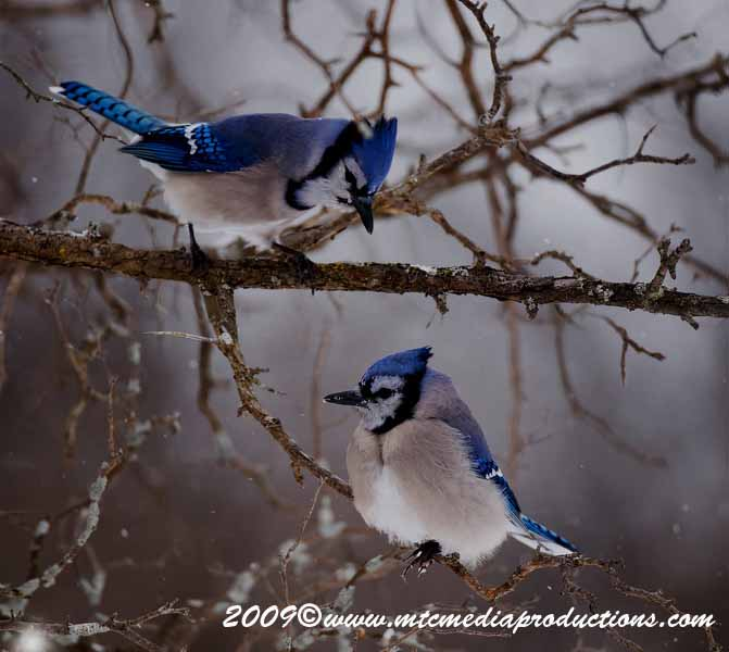 Blue Jay Picture-61