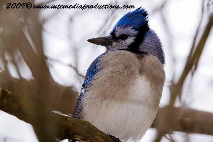Blue Jay Picture-62