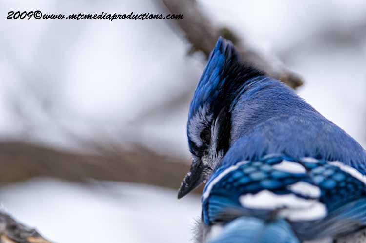 Blue Jay Picture-63