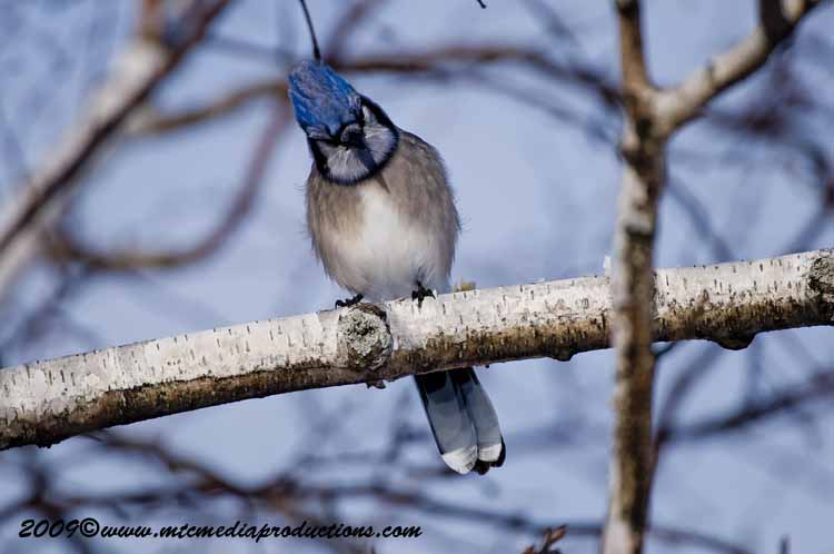 Blue Jay Picture-64