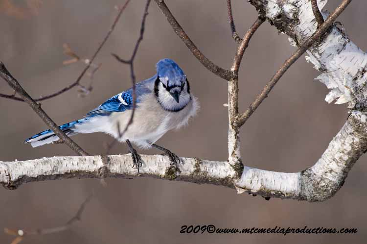 Blue Jay Picture-65