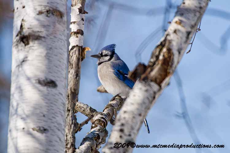 Blue Jay Picture-66