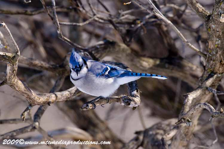 Blue Jay Picture-67