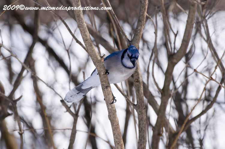 Blue Jay Picture-68