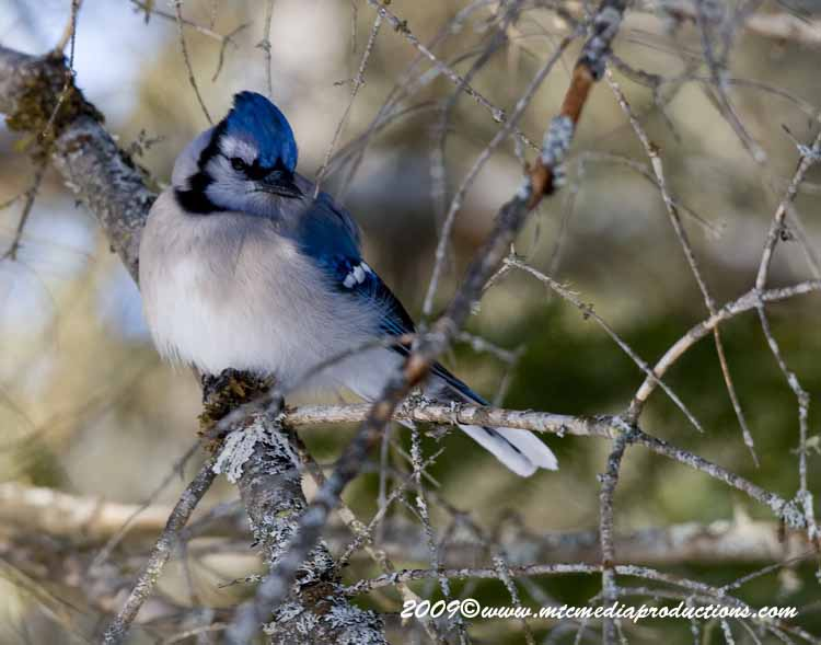 Blue Jay Picture-69