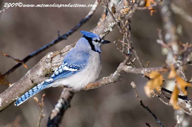 Blue Jay Picture-73