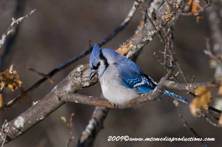 Blue Jay Picture-74