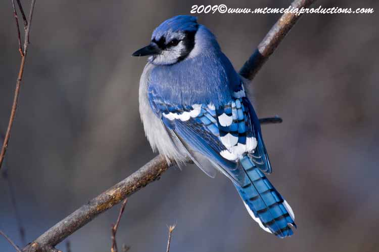 Blue Jay Picture-75