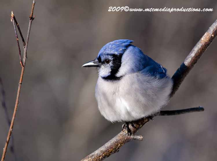 Blue Jay Picture-76