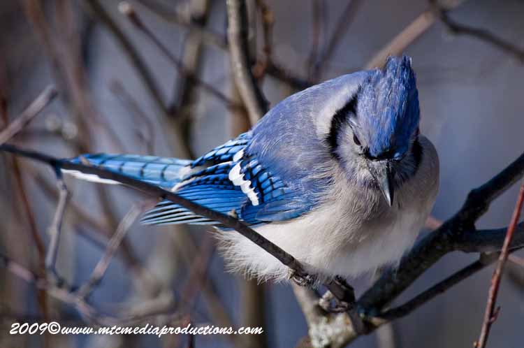 Blue Jay Picture-78
