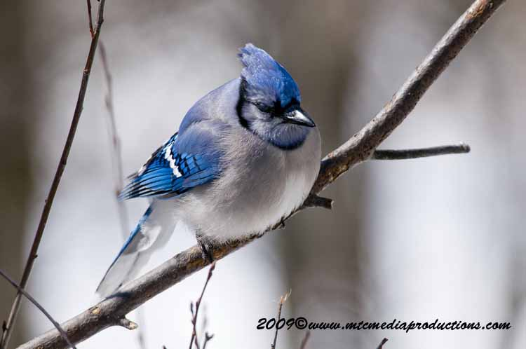 Blue Jay Picture-79