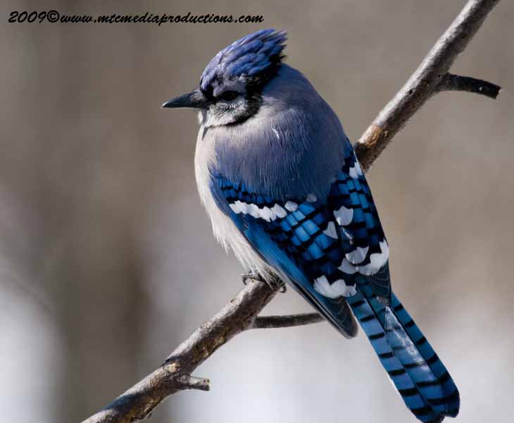Blue Jay Picture-80