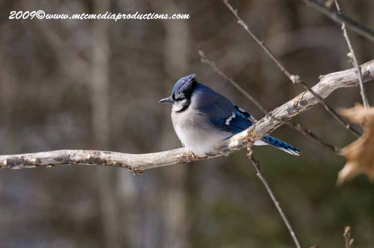 Blue Jay Picture-81
