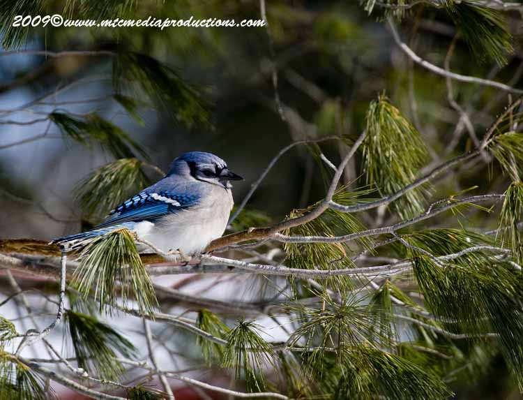 Blue Jay Picture-82