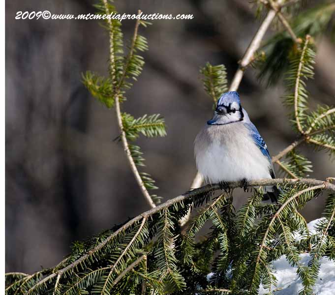 Blue Jay Picture-83