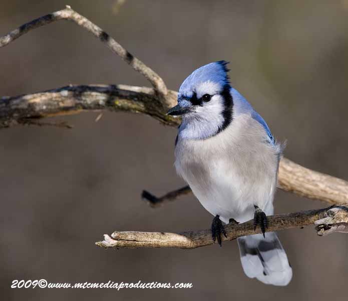 Blue Jay Picture-84