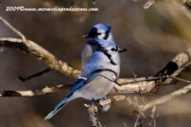 Blue Jay Picture-85