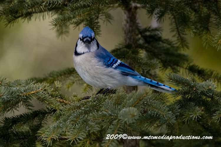 Blue Jay Picture-86