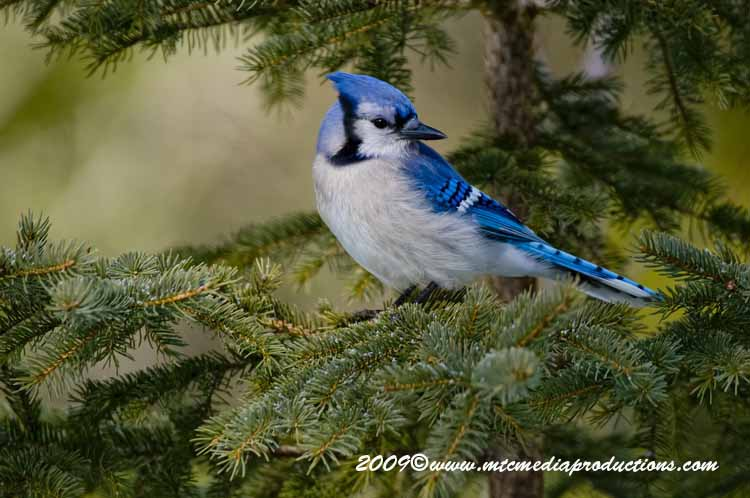 Blue Jay Picture-87