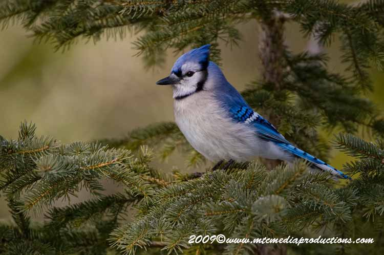 Blue Jay Picture-88