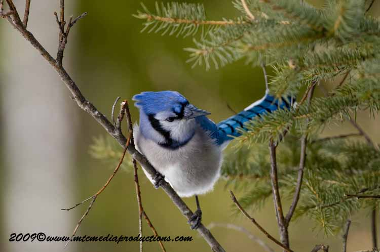 Blue Jay Picture-89
