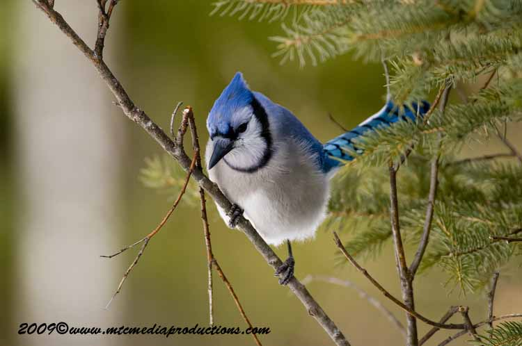 Blue Jay Picture-90