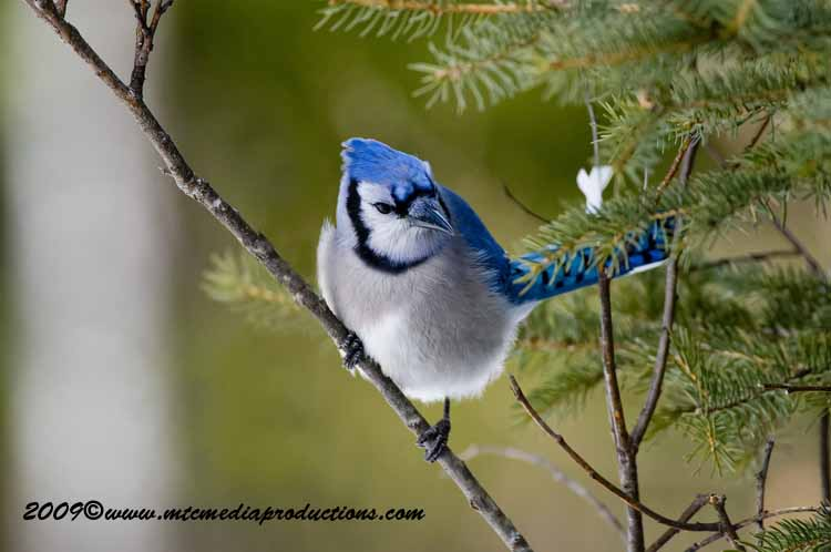 Blue Jay Picture-91
