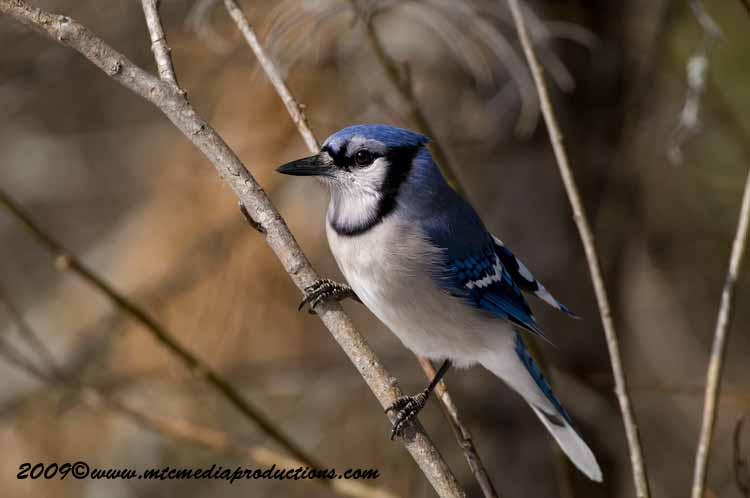Blue Jay Picture-92