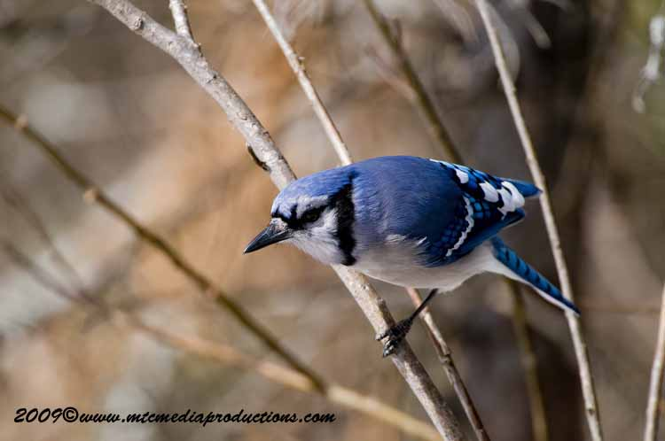 Blue Jay Picture-93