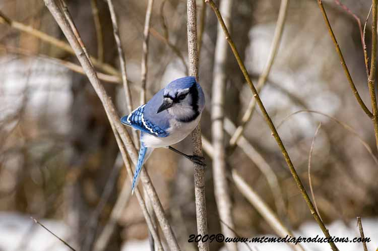 Blue Jay Picture-94