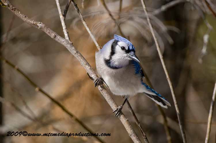 Blue Jay Picture-95