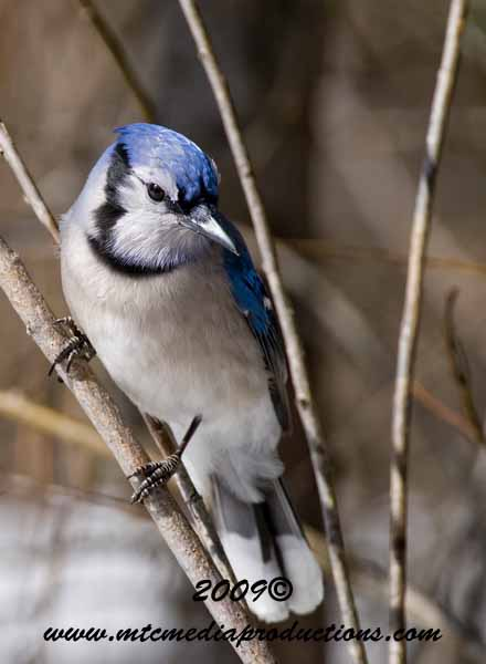 Blue Jay Picture-96