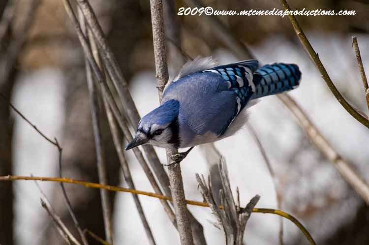 Blue Jay Picture-98