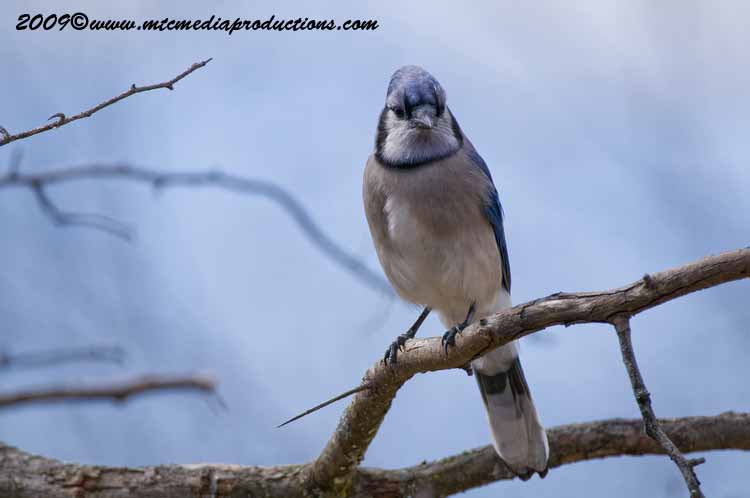 Blue Jay Picture-99