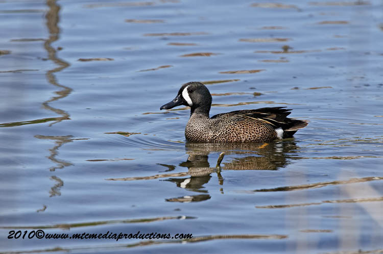 Blue-Winged Teal Picture-00