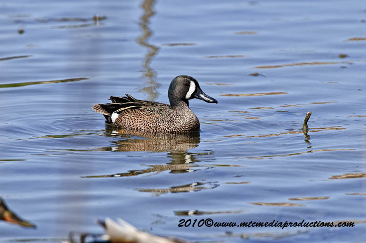 Blue-Winged Teal Picture-01