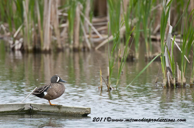 Blue-Winged Teal Picture-10