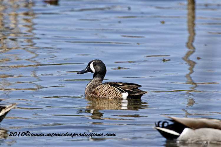 Blue-Winged Teal Picture-02