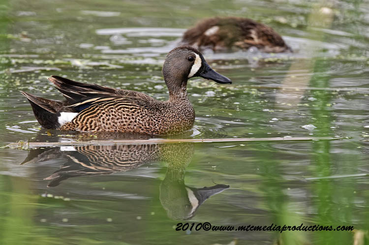 Blue-Winged Teal Picture-06