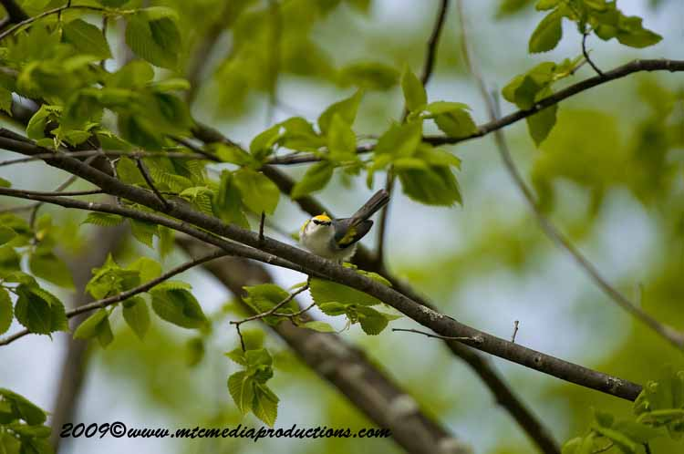 Brewsters Warbler Picture-01