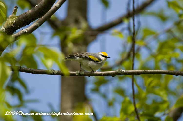 Brewsters Warbler Picture-06