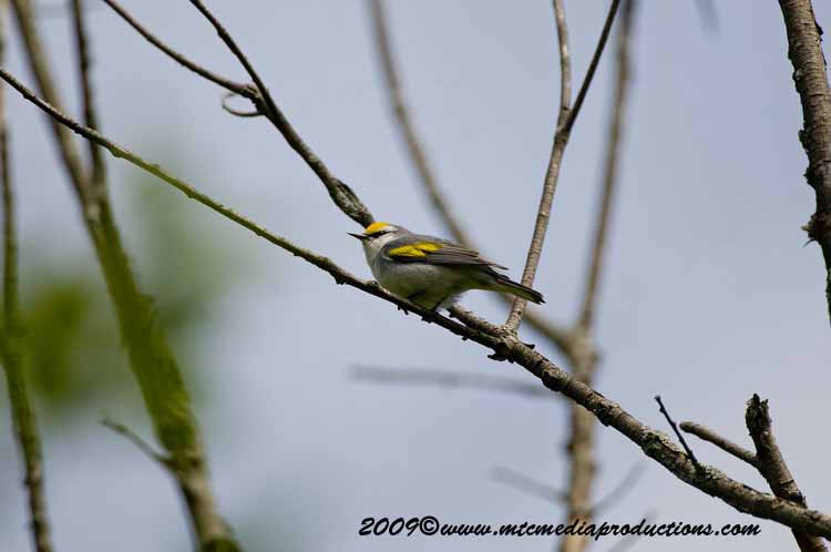Brewsters Warbler Picture-08