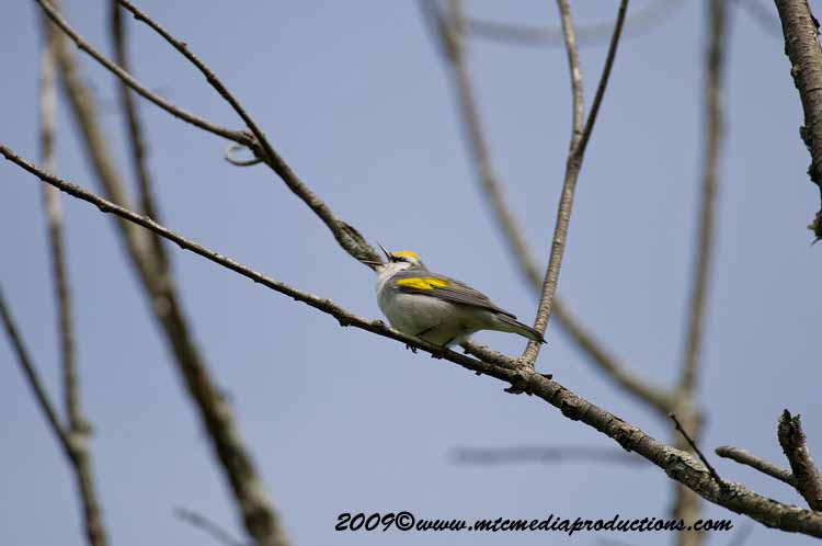 Brewsters Warbler Picture-09