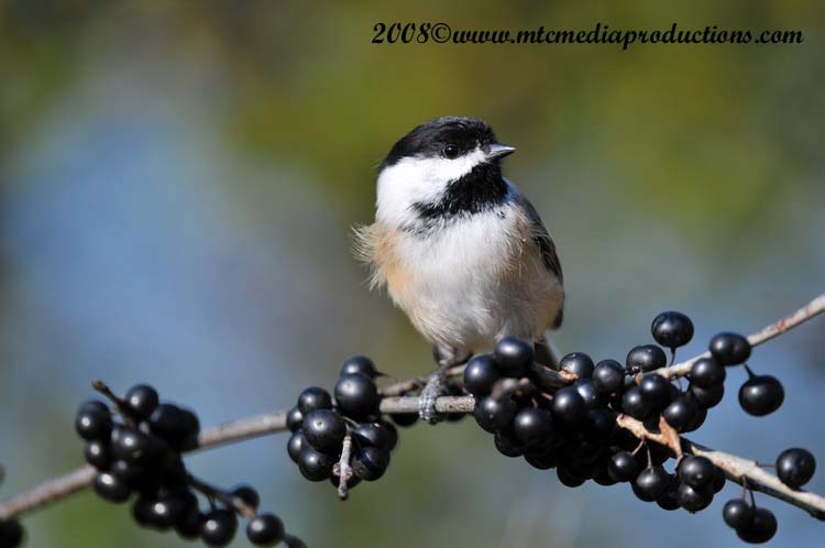 Chickadee Picture-102